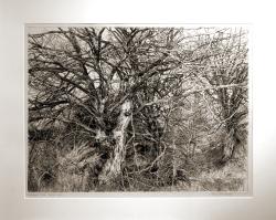 Last Warren Trees